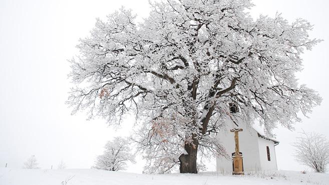 Az év fája: Az öreg molyhos sikere