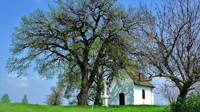 A bátaszéki molyhos tölgy az év európai fája
