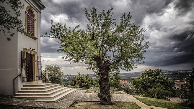 A pécsi havihegyi mandulafa az év fája Európában